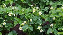 Kvetoucí jahodníky slibují bohatou úrodu