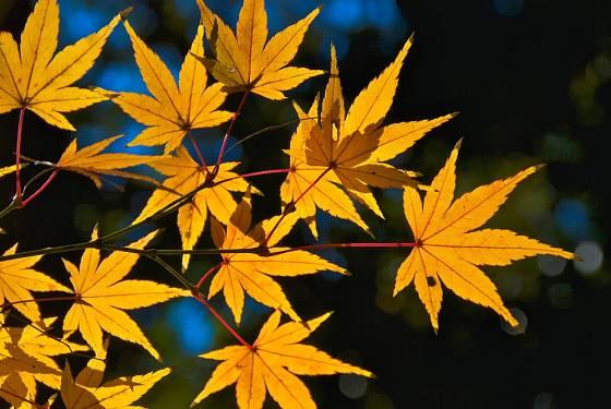 Podzimně zbarvené javorové listy prosvícené sluncem.