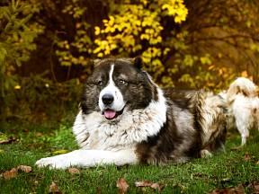 Kavkazský pastevecký pes je skvělý hlídač.