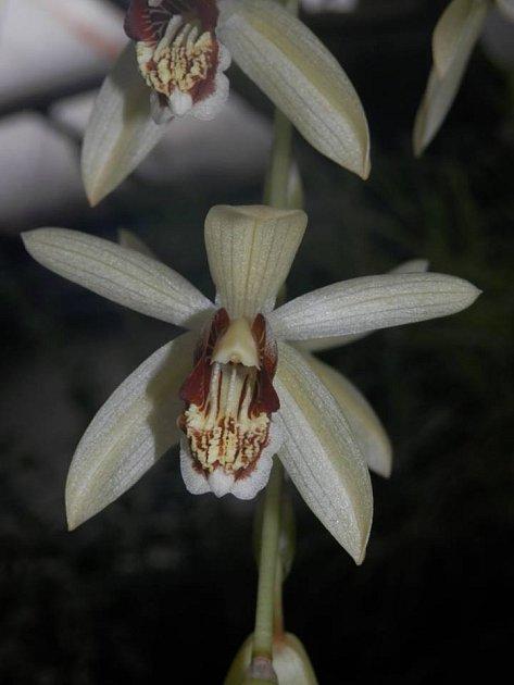 Coelogyne tomentosa - orchidea původem z Malaysie, Sumatry, Bornea a Jávy.