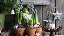 Kvetoucí hyacinty vynikají ve Vánočním aranžmá