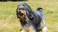 Lvíček - přítulné a milé psí plemeno.