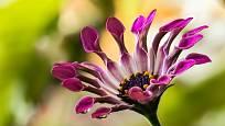 Osteospermum eclonis 'Sunny Sonja'