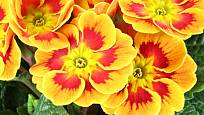 Primule se nabízejí v pestré paletě barev.