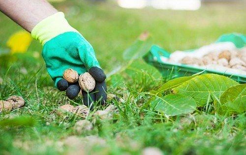 Optimální je tedy opakované sbírání uzrálých plodů pod stromem.