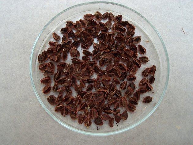 Připravíme čistá semena reveně.