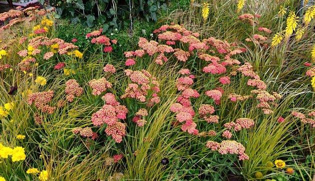 řebříček obecný a ostřice Carex brunnea jenneke