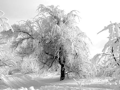zasněžená zahrada, stromy