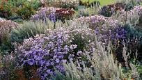 Hvězdnice křovitá (Aster dumosus) v trvalkové směsi Stříbrná vonička, Dendrologická zahrada Průhonice