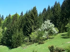 Ovocný strom v lese napovídá, že tu kdysi žili lidé.