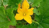 Kvetoucí cuketa ozdobí zeleninovou zahradu
