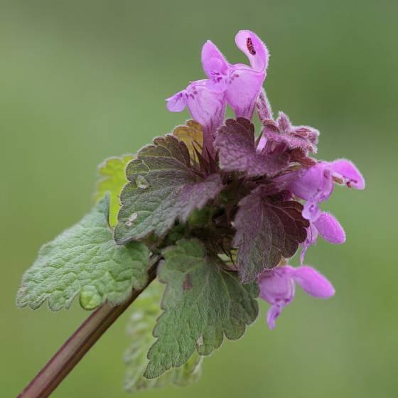 Hluchavka nachová (Lamium purpureum) - jednoletá nebo dvouletá bylina.