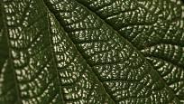 Kalina vrásčitolistá (Viburnum rhytidophyllum), detail listu