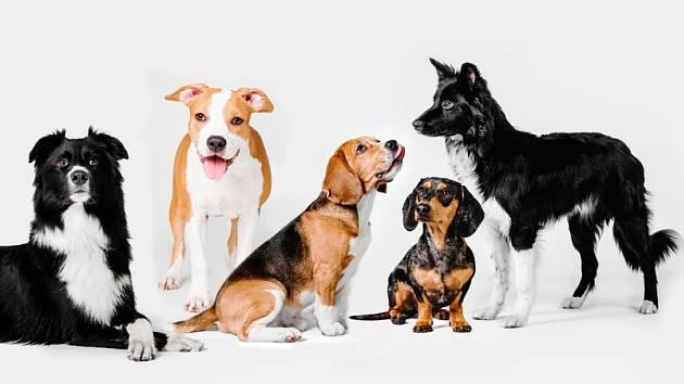 Plemena psů byla vyšlechtěna z prapůvodního předka všech psů, tj. vlka.