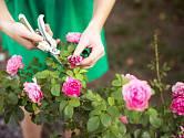 řez růží květy
