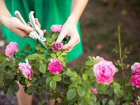 Bohatě kvetoucí růžový keř je ozdobou každé zahrady