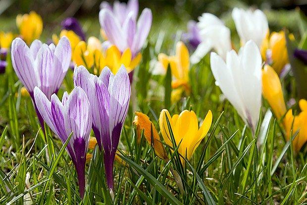Šafrány ozdobí jarní trávník