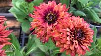Třapatka srstnatá (Rudbeckia hirta) - kultivar s atraktivní barvou květů.