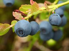 Brusnice borůvka (Vaccinium myrtillus)