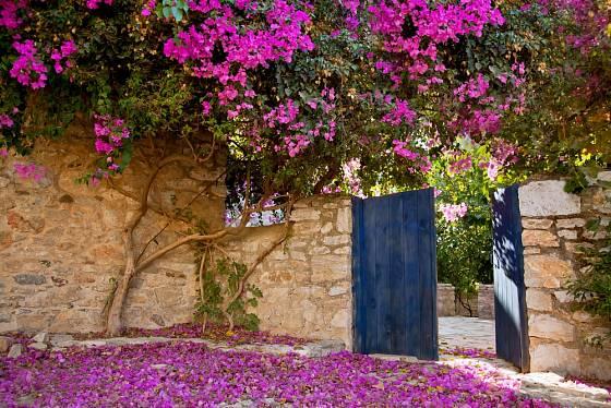 Bohatě kvetoucí bugenvilea (Bougainvillea) v Turecku.