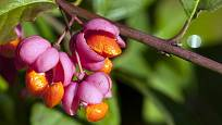 Brslen evropský má atraktivní plody.