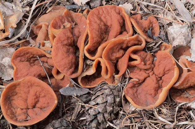 Zajímavou houbou jarních lesů je destice chřapáčová