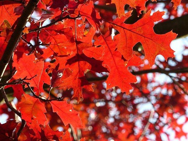 dub šarlatový (Quercus coccinea)