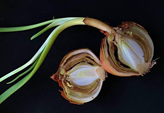 Krčková hniloba česnekovitých, houbová choroba Botrytis allii