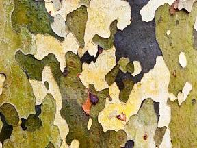 Olupující se borka platanu vytváří nádherné obrazy