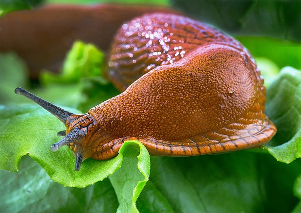 slimák - nepřítel zahrady