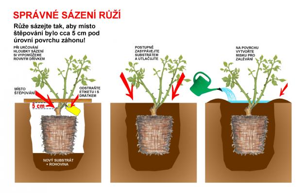 Výsadba růže krok za krokem