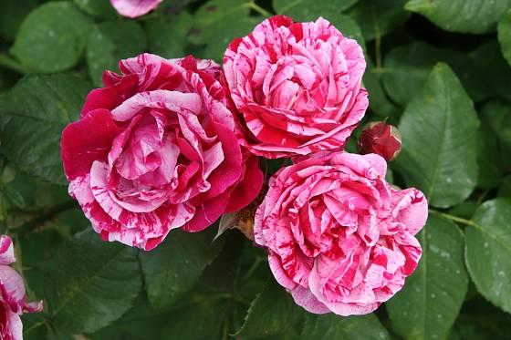 Sadová růže, odrůda ČSR
