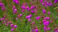 dabécie kantabrijská (Daboecia cantabrica)