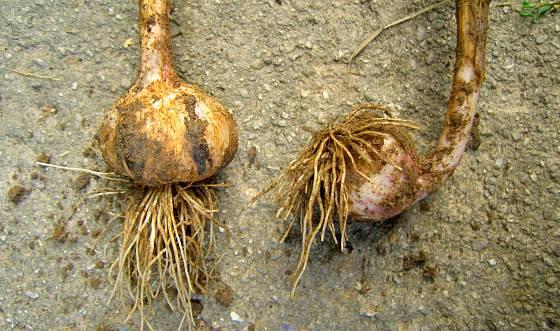Deformovaná hlavička (vpravo), kde byl stroužek zasazen obráceně