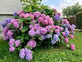 Bohatě kvetoucí hortenzie je v létě ozdobou zahrady.