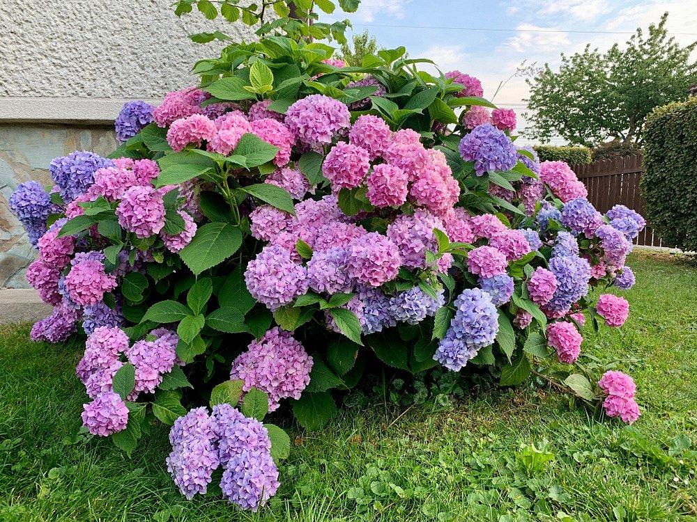 Jak vypěstovat bohatě kvetoucí hortenzii? Správnou zálivkou… | iReceptář.cz