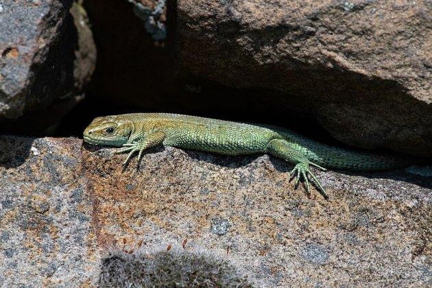 V létě se ještěrka vyhřívá na kamenech, v zimě hledá úkryt v nitru zídky