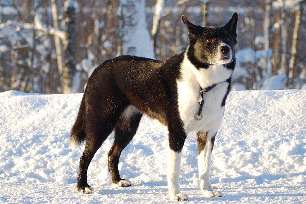 Karelský medvědí pes je odolné a nenáročné plemeno zvyklé na tvrdé podmínky.