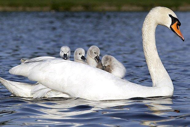Mláďata jsou ihned po vylíhnutí schopná plavat a sama se krmit