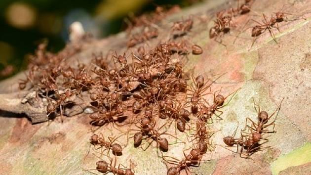Mravenci parazitují na ovocném stromě.