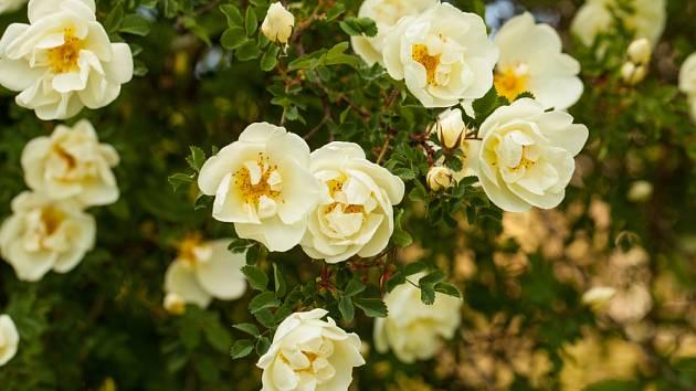 Růže bedrníkolistá (Rosa pimpinellifolia)
