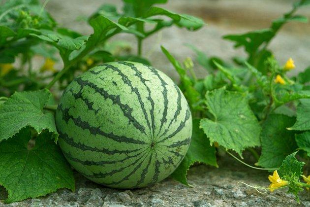 Víte, jak poznáte správně vyzrálý meloun?