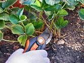 U zdravých rostlin jahodníku odstraňte uschlé listy.