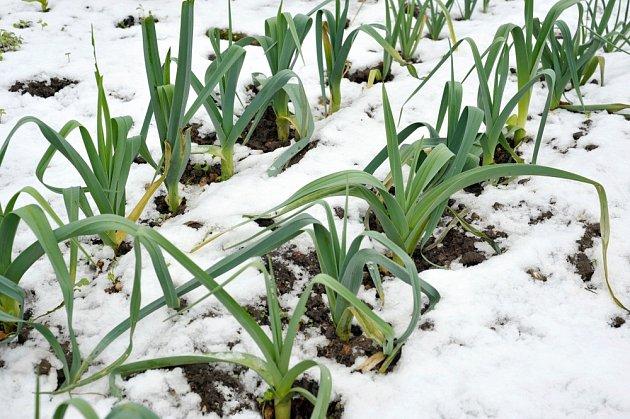 Zimní odrůda póru vydrží na zahrádce celou zimu.