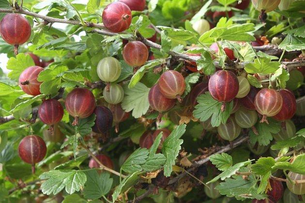 Pokud není keř prořezaný, plody hůře dozrávají a hrozí riziko šíření chorob.