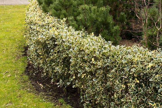cesmína ostrolistá, odrůda Argentea Marginata