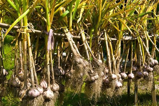 Skladovatelnost česneku prodloužíme správným dosušením.