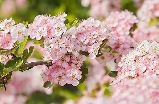 okrasné kultivary hlohu kvetou i růžově
