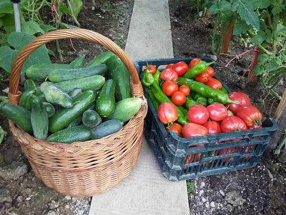 Zelenina ze skleníku