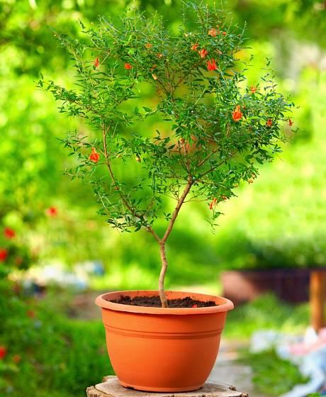 I malý stromek granátovníku (Punica granatum) ochotně kvete